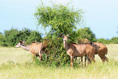 Antelope kudu Royalty Free Stock Photography