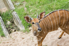 Antelope Kudu Stock Photo