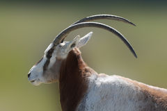 Antelope. With large horns close up Royalty Free Stock Photo
