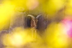 Antelope with large horns standing on a rock. Antelope with large horns standing in shade on a vertical rock in Al Ain, UAE Royalty Free Stock Image