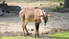 The antelope latin name Hippotragus equinus near the green lake. Close view of African wildlife animal living in safari. The antelope latin name Hippotragus stock video