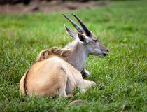 Antelope lies on a grass Stock Image