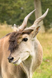Antelope. At longleat in england Stock Photography