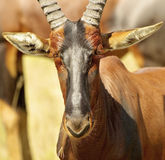 Antelope looks attentively Stock Photos