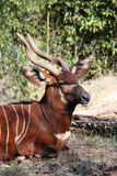 Antelope Meditation Stock Photo