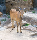 Antelope Royalty Free Stock Image