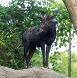 Antelope Royalty Free Stock Photography