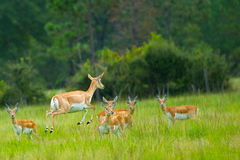 Antelope Mid Jump. Herd of female African Antelope in grassy field Royalty Free Stock Photography