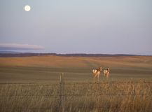 Antelope moonrise Royalty Free Stock Image