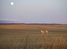 Antelope moonrise Royalty Free Stock Image