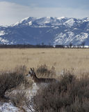 Antelope with mountains Royalty Free Stock Images