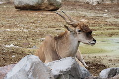 Antelope. Nature is beautiful, and big as god creation royalty free stock photo