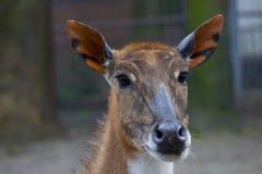 Antelope Nilgai or Blue Bull stock photography
