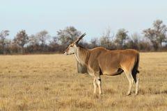 Taurotragus oryx Stock Image