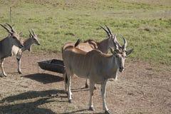 Antelope in the open ,Villahermosa,Tabasco,Mexico. Antelope in the open in Yumka Park ,Villahermosa,Tabasco,Mexico Royalty Free Stock Photo