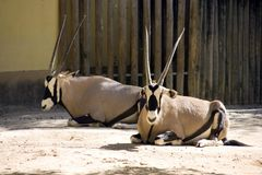 Antelope Oryx antilope and very gracious sable large Savannah herbivores cloven-hoofed ruminant hardy desert. Powerful elegant antelope Oryx live in the Savannah Stock Photos
