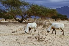 Antelope Oryx in Hai Bar, Israel Stock Image