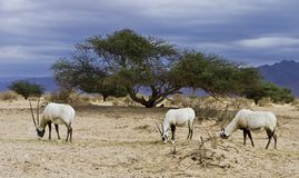 Antelope Oryx in Hai Bar, Israel Stock Photography