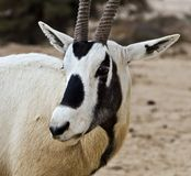 Antelope Oryx in Hai Bar, Israel Stock Images