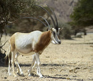 Antelope Oryx in Israeli Nature Reserve Stock Photos