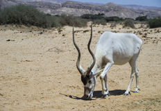 Antelope Oryx in Israeli nature reserve near Eilat Stock Photos