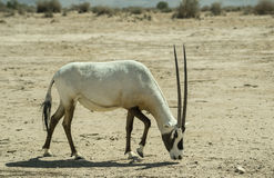 Antelope Oryx (Oryx leucoryx) Stock Photos