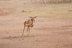 Antelope and oxpeckers Stock Image