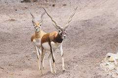 Antelope. A pair of african antelopes Royalty Free Stock Photo