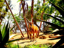 Antelope. Picture of an antelope during a sunny day in the Zoo of San Diego, California Stock Photos