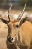 Antelope portrait Stock Images