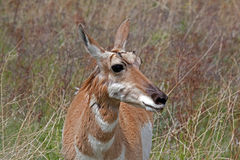 Antelope Portrait Stock Photos