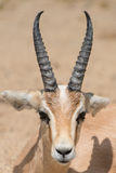 Antelope portrait. Antelope laying, close up of head and horns Royalty Free Stock Images