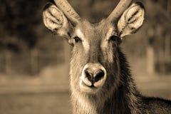 Antelope portrait in sepia tone Royalty Free Stock Photos