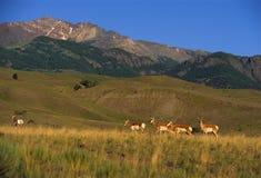 Antelope on Prairie Royalty Free Stock Images