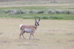Antelope on the prairie Royalty Free Stock Images