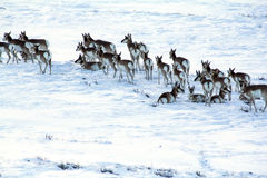 Antelope or Prong horns in the snow Royalty Free Stock Photo