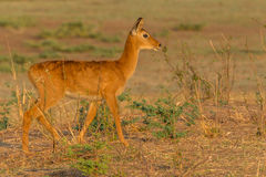Puku female in Southern Luangwa National Park. Female antelope Puku at sunset in the Southern National Park in Zambia Royalty Free Stock Image