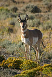Antelope and Rabbit Brush royalty free stock images