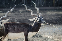 Antelope in the rain. Antelope eating grass in the rain Stock Photos