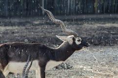 Antelope in the rain Stock Photos