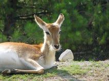 The antelope Stock Image