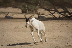 Antelope running. Addax nasomaculatus antelope running on desert Stock Photos