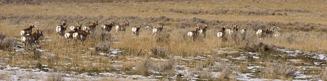 Antelope running away Royalty Free Stock Images