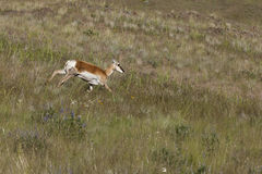 Antelope runs downhill. Royalty Free Stock Photos