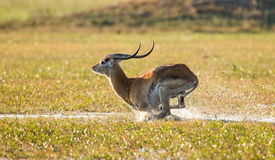 Antelope runs on water, surrounded by splashes. Botswana. Okavango Delta. Stock Photos