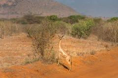 Antelope in the savannah stock photo