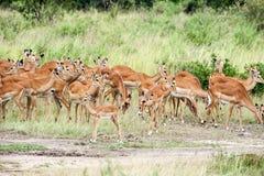 Antelope Stock Photo