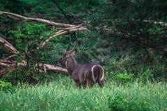 Antelope in savannah national park of kenya stock photography