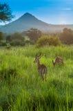 Antelope,Serengeti park Royalty Free Stock Images