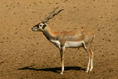 Antelope Series Blackbuck. Blackbuck is a kind of beautiful antelope Stock Photo
